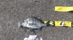 加太漁港 紀州釣りでチヌ31cm&28cm 午後からの釣行