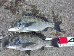 堺・一本松漁港 紀州釣りでチヌ&グレ エサ取りも猛攻