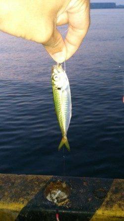 兵庫突堤 明け方のサビキ釣りでマメアジ入れ食い ちょい投げは小型アナゴ