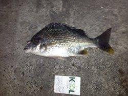 大阪南港、チニングでキビレの釣果