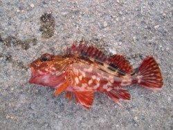 大蔵海岸 夕方の探り釣りでガシラ4匹 ケンサキはアタリ無し