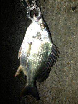 舞洲でチニング、キビレの数釣り