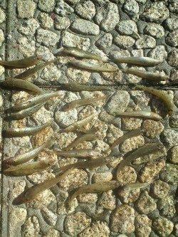 武庫川で底物釣り〜15cmほどのドンコ×20匹〜