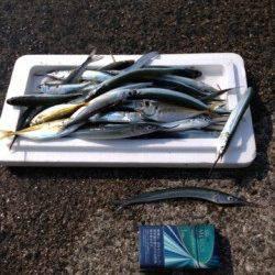 垂水漁港 ウキ釣りでサヨリ30匹 他アジ・イワシも