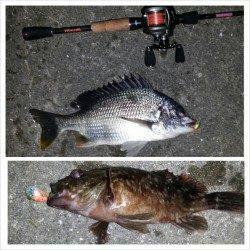 舞洲で短時間チニング釣行、キビレ・ガシラGET