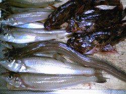 古茂江 投げ釣りでキス〜23cm10匹、他、ガシラ、アナゴも要フグ対策