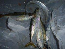 兵突ルアーでタチウオなど釣れています!