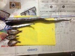 加太漁港 朝のサビキ・ちょい投げでアジ・サバ・サヨリなどの釣果
