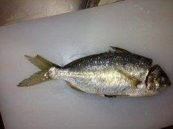 加太漁港での投げ釣り&飛ばしサビキ釣果