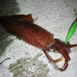 新浜漁港 ライトエギングでケンサキ7ハイ 6パイはエギにヒット