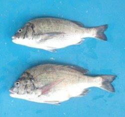 青井イカダでチヌ48.6cmを頭に2匹、エサはサナギ