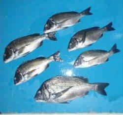 千歳イカダのチヌ釣り、サナギの釣りに変わってきました