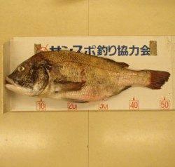 白杉防波堤 オキアミのエサで年なしチヌ52.5cm