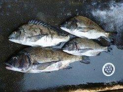 湯浅の磯、紀州釣りで年無し含むチヌ4枚!!
