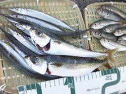 神戸空港 テンヤでタチウオ84cm 小野浜はサバ・マルアジ・サヨリで釣り場は大賑わい☆