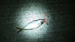 暗い内はアジングで明け方にサビキ釣りで♪ 田尻漁港