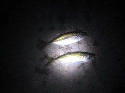 加太漁港でアジング、雨が降り出しましたがなんとかメバル・アジGET
