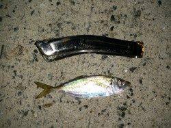 育波の漁港でアジング なんとハモが釣れました!