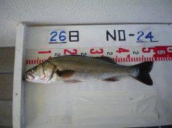 姫路市立遊漁センター、アジの呑ませでハネ