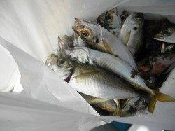 南港海釣り公園 サビキのアジの他、タチウオ、サゴシの釣果