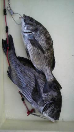 岸和田一文字 紀州釣りでチヌ〜39cm
