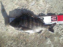 高石・泉大津エリアのテトラでフカセ。良型チヌが釣れました♪