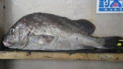 堺漁港 フカセでコショウダイ50.5cm