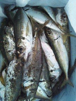 舞洲 深夜12時からのアジング&サビキ釣り