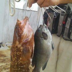 岸和田一文字 シラサのウキ釣りでアコウ・グレ
