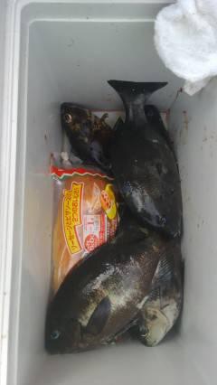 岸和田でウキ釣り、グレが快釣