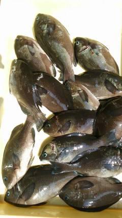 沖の一文字で24cmまでのグレ14匹、ウキ釣りでの釣果