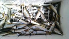 沖の北で青アジとマアジ、あわせて約200匹と大漁♪