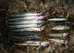 佐野漁港でサビキ&メタルジグ、サヨリが快釣