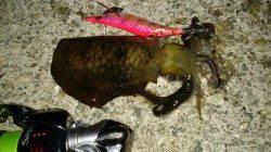 新浜漁港 ナイトエギングでアオリイカ狙いも可愛いサイズ