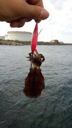 初島漁港 エギングでのアオリイカ調査もリリースサイズ
