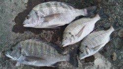 濱ノ瀬でのフカセ釣り コンスタントにチヌ釣れました♪