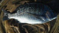 濱ノ瀬漁港、夕方の上げ潮狙いでフカセ釣り、チヌの釣果