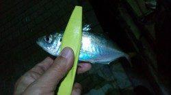 洲本でアジング、二人で40匹の釣果