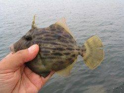 独特の魚信楽しいカワハギ エサは練り餌とアオイソメが◎