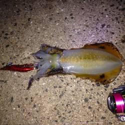 【濁りは無くなりました】明石港でのエギング釣果