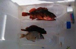 東二見人工島、ジグサビキと穴釣りの釣果
