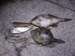 大蔵海岸でサビキアジ&胴突きカワハギ