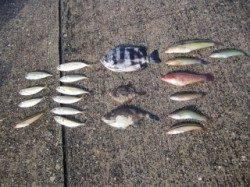 青物狙いで盛況の大蔵海岸にてサビキの釣果