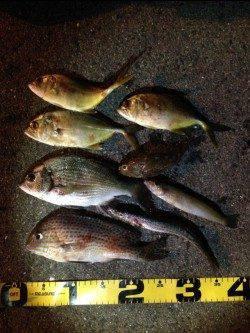印南港エビ撒き釣り 多魚種で楽しめました!