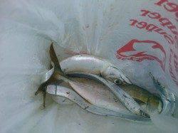 南芦屋浜 ウキ釣りでタチウオ狙い ノマセで青物狙い釣行