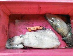 柴山港でのエギング釣果、潮が効きだした僅かな時合に釣れました