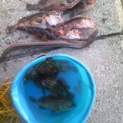 ウキ釣り&投げ釣りでアナゴとガシラの釣果