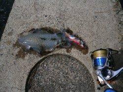 宮津西部エリアでのエギング釣果 10杯オーバーです