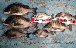 3人でフカセ釣り、全員でチヌ7匹!