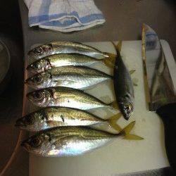 淡輪漁港でアジング、10〜15cmのアジが20匹以上釣れました